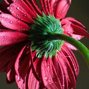 Flower-1 by Sathyanarayanan Shanmugam - Flowers Single Flower ( flower-1 )