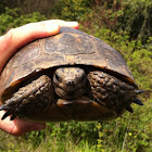 spur-thighed tortoise