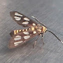 Orange Spotted Tiger Moth