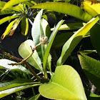 Vanilla frangipani