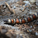 Sierra Mountain Kingsnake
