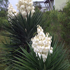Common yucca, Adam's needle