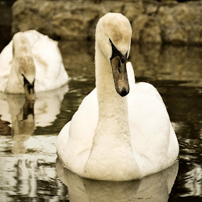 White Swans by Andreea Marchidan - Animals Birds