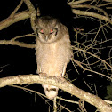 Verreaux's Eagle-Owl/Milky Eagle Owl/Giant Eagle Owl