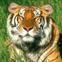 Tiger Live Wallpaper 1.3