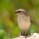 Iago sparrow(female)