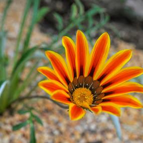 Gazania 'Daybreak Red Stripe' flower by May Myat Kyaw - Flowers Flower Gardens ( dream, art, garden, flower )