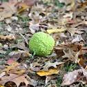 Osage orange, hedgeapple, monkey ball.