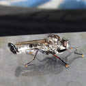 Robber Fly (male)
