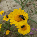 Red-necked-beetles