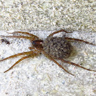 Wolf Spider and her babies in the back