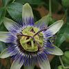 Passiflora-Carkifelek Bitkisi