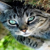 Cute Cat Pet Wallpapers