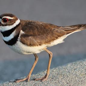 by Maureen McDonald - Animals Birds ( beautiful killdeer, mama killdeer, killdeer, union ky, spring,  )