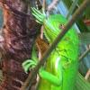 Green leguana