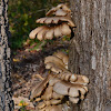 bunched shelf fungi