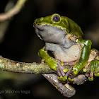 Giant Leaf Frog