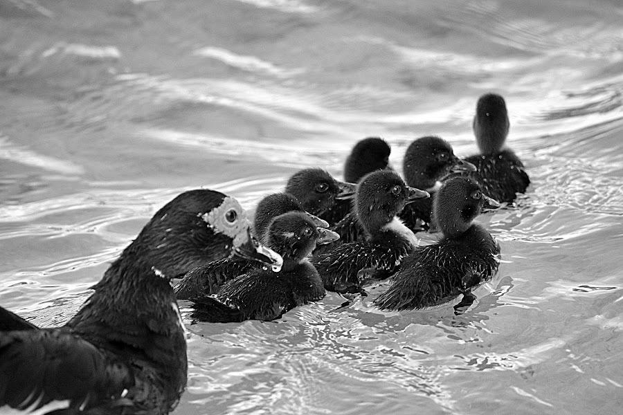 Ducks by Milton Moreno - Animals Birds ( pigeon, orange, animals, black and white, green, peahen, yellow, feathers, birds, humming bird, bird, chicken, blue, crane, peacock, animal )