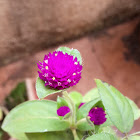 Globe Amaranth/Bachelor Button