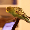 Parrot on Laptop Free LWP icon