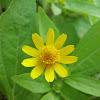 Butter daisy