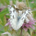Checkered White Butterfly (female)