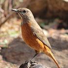 Cape Rock-thrush (Female)