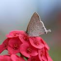 Hairstreak Butterfly