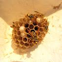 Wesp, Paravespula vulgaris