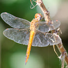 Red -veined Darter (Female)