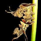 Lobster Moth caterpillar
