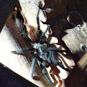 Mexican red rump tarantula