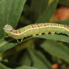 Common gluphisia (larva)