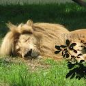 Transvaal lion