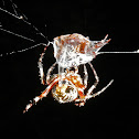 Spotted Orb Weaver Spider