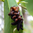Variole Paropsine Beetle Larva