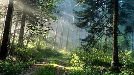 Dense forest HD Live Wallpaper