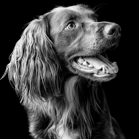 Bailey by Parker Lord - Animals - Dogs Portraits ( somerset, dogs, pet, lord parker photography, taunton, pooch, portrait,  )