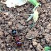 Red Harvester Ant