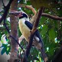 Luzon Tarictic Hornbill