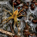 Sixspotted Fishing Spider