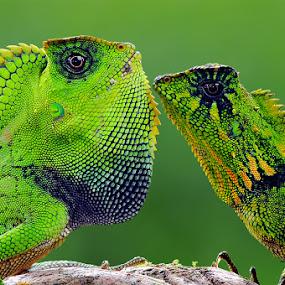 Forest Dragon with Gonocephalus kuhlii by Andri Priyadi - Animals Reptiles ( nikon, macro, forest dragon, reptiles, gonocephalus kuhlii, animal, animals, reptile, indonesia, nikon d90 )