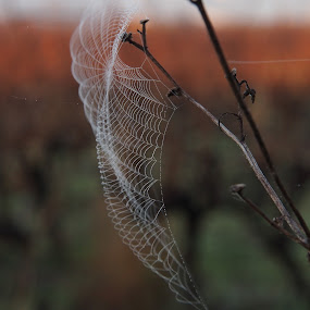 Taken on a misty morning. by Silvana van Engelen - Nature Up Close Webs ( nature, art, nature up close, web, dew drops, natural, nature photo )