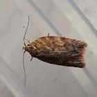 Hopbush Moth