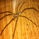 Brown Recluse/Violin Spider
