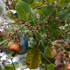 Viuda, tangara azuleja --   Blue Gray Tanager