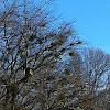 Eastern mistletoe