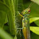 Bluish-green Rice Grasshopper