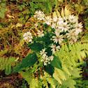 Broad Leaf Aster