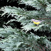 Magnolia Warbler Female